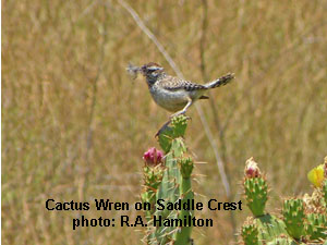 Cactus Wren on Saddle Creek, R.A. Hamilton Photo